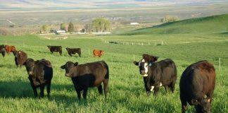 Αγωνιούν οι παραγωγοί μοσχαρίσιου κρέατος για το μέλλον της αγελαδοτροφίας