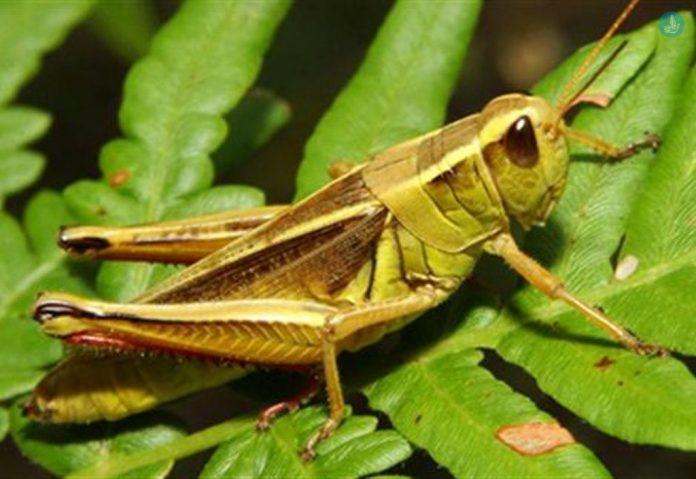 Μυτιλήνη: Ακρίδες απειλούν τις καλλιέργειες της δυτικής Λέσβου