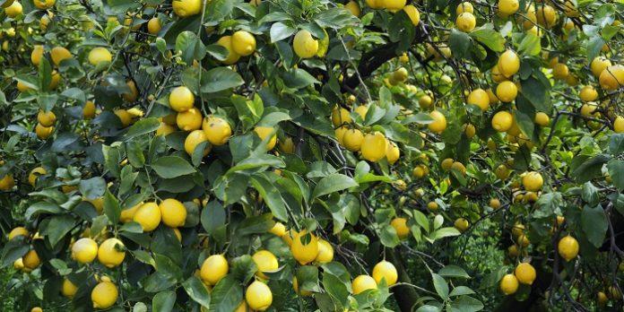 Απαιτείται αναδιάρθρωση με νέες ποικιλίες λεμονιού