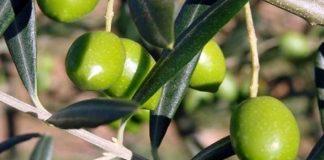 Καμπανάκι φέτος για τις χαμηλές τιμές στην πράσινη ελιά Χαλκιδικής