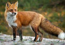 Περιφέρεια ΑΜ-Θ - 6 Μαΐου ξεκινά ο εναέριος εμβολιασμός κατά της λύσσας