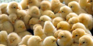 Κ. Μακεδoνία: Επείγουσα ενημέρωση πτηνοτρόφων και κατόχων οικόσιτων πουλερικών για τη γρίπη των πτηνών