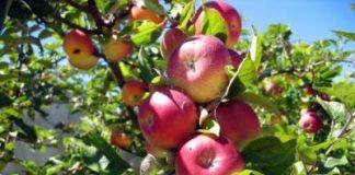 Στα 70 λεπτά η τιμή παραγωγού στα ΠΟΠ μήλα Delicious Πιλαφά