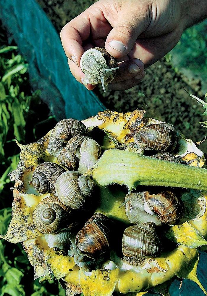 Χέρι-χέρι με την εκτροφή η μεταποίηση σαλιγκαριών