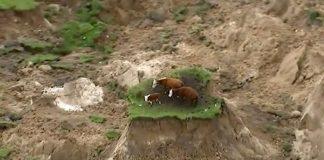 Εγκλωβίστηκαν αγελάδες μετά τον σεισμό στη Νέα Ζηλανδία (video)