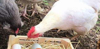 Μία Επιχειρησιακή Ομάδα χρησιμοποιεί με διαφορετικό τρόπο τις κότες αβγοπαραγωγής