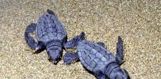 Χανιά: Μέτρα για την προστασία της θαλάσσιας χελώνας
