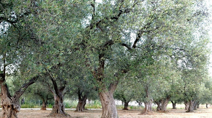 Μειωμένη η παραγωγή ελαιολάδου στη Θάσο
