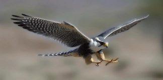 Ν. Αιγαίο και Στ. Ελλάδα δεν εντάχθηκαν στο ΕΣΠΑ για τη δημιουργία χώρων τροφοδοσίας αρπακτικών πτηνών