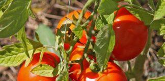 Ντομάτα: Σημάδια ανάκαμψης στις τιμές