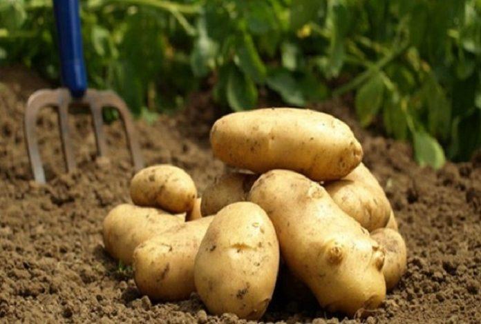 Πατάτα: Στα 48 – 50 λεπτά για τους παραγωγούς