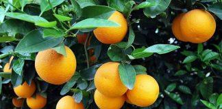 Με καλά εμπορικά μεγέθη άνοιξε η σεζόν για το ελληνικό πορτοκάλι