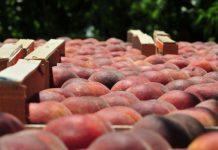 Αντιδράσεις παράγωγων στις ανακοινώσεις ΕΚΕ για το συμπύρηνο πριν τη συγκομιδή