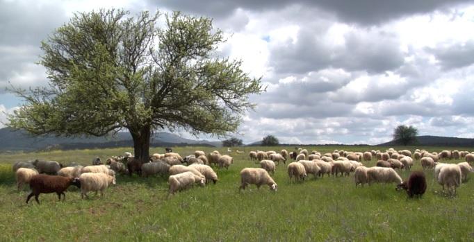 Κρήτη: 200 αιγοπρόβατα έκλεψαν άγνωστοι στη Γόρτυνα