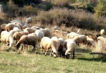 Ελλείψεις στη νέα ΚΥΑ για μέτρα ελέγχου της αγοράς γάλακτος, καταγγέλλουν οι κτηνοτρόφοι της Θεσσαλίας