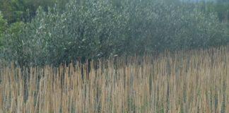 Αργολίδα: Αύξηση σε καλλιέργειες ελιάς και λεμονιού