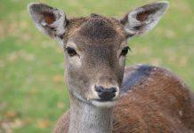 Ρόδος: Εντείνονται οι έρευνες για τον εντοπισμό του εκτελεστή ελαφιών
