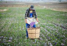 Στη Κομισιόν το θέμα της στήριξης των κροκοπαραγωγών της Κοζάνης