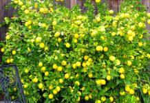 lemonia-quiz-kalliergia