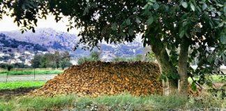 Μέτρια η παραγωγή πατάτας στο Οροπέδιο Λασιθίου
