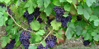 Μείωση των ελληνικών ποικιλιών, μείωση και στις καλλιέργειες...