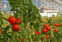 """Τιμές """"ανάσα"""" για τους παραγωγούς θερμοκηπιακής ντομάτας"""