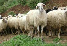 Ειδικό νόμο ρύθμισης των δανείων των κτηνοτρόφων ζητάει ο ΣΕΚ