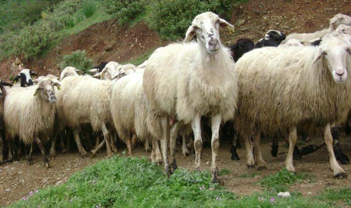 Τιμή και έλεγχοι στο αιγοπρόβειο γάλα στην ατζέντα της συνέλευσης των κτηνοτρόφων Θεσσαλίας