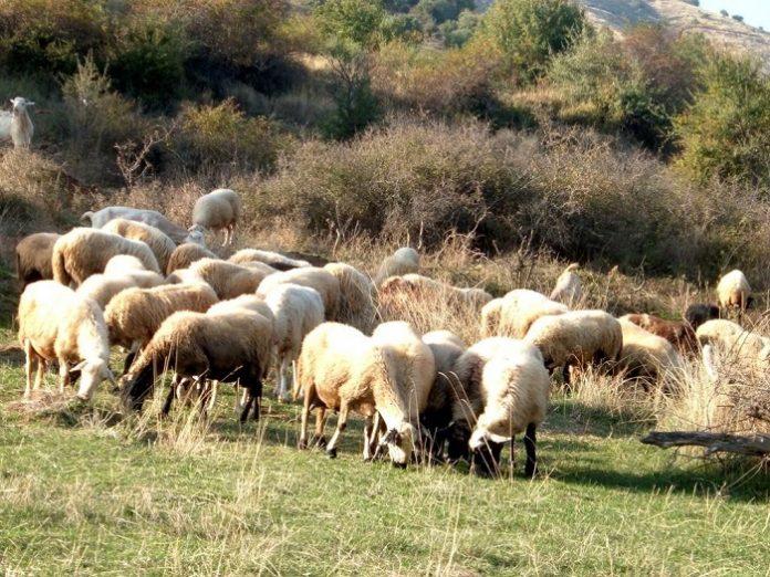 Ανυπαρξία πολιτικής βούλησης από την κυβέρνηση για την πρωτογενή παραγωγή διαπιστώνουν οι κτηνοτρόφοι της ΑΜΘ