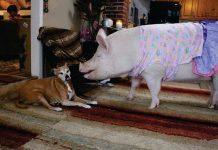 Η Έσθερ είναι το μεγαλύτερο γουρούνι στον κόσμο!(Βίντεο-φωτό)