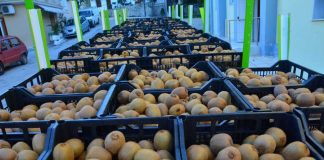 Άνοιξε η αγορά της Αργεντινής για το ελληνικό ακτινίδιο, λέει το ΥΠΑΑΤ