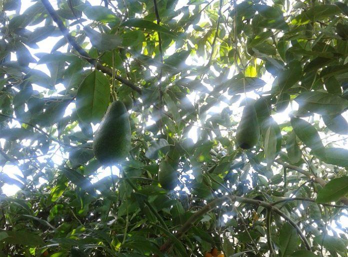 Κερδίζει έδαφος το αβοκάντο στα Χανιά