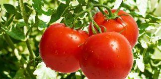 Κρήτη: Μειωμένη έως και 40% η παραγωγή για τη ντομάτα σε σχέση με τον προηγούμενο μήνα