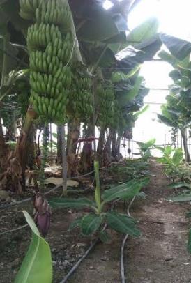 Ξεχωρίζει η μπανάνα από την Άρβη της Κρήτης