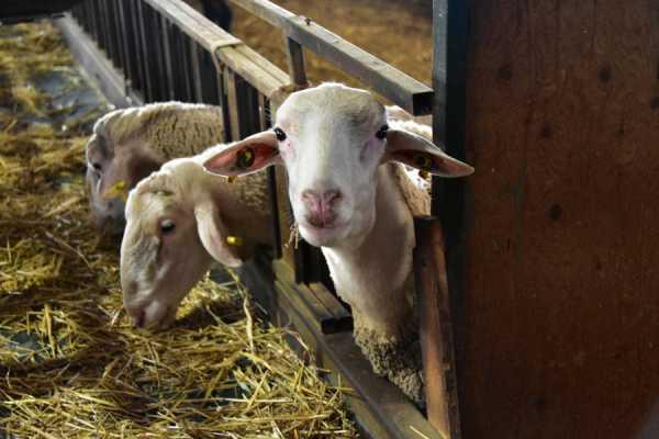 Επιμένουν στο αγροτικό ακατάσχετο των 15.000 ευρώ οι κτηνοτρόφοι ΑΜΘ πριν τις πληρωμές του Δεκεμβρίου
