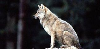 ΣΥΡΙΖΑ: Τι θα γίνει με τις επιθέσεις λύκων στην Αιτωλοακαρνανία;