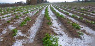 Πάγωσαν 2.500 τόνοι πατάτας στα Σέρβια Κοζάνης