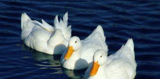 Γαλλία: Χιλιάδες πάπιες θανατώθηκαν σε πτηνοτροφεία έπειτα από κρούσματα της γρίπης των πτηνών