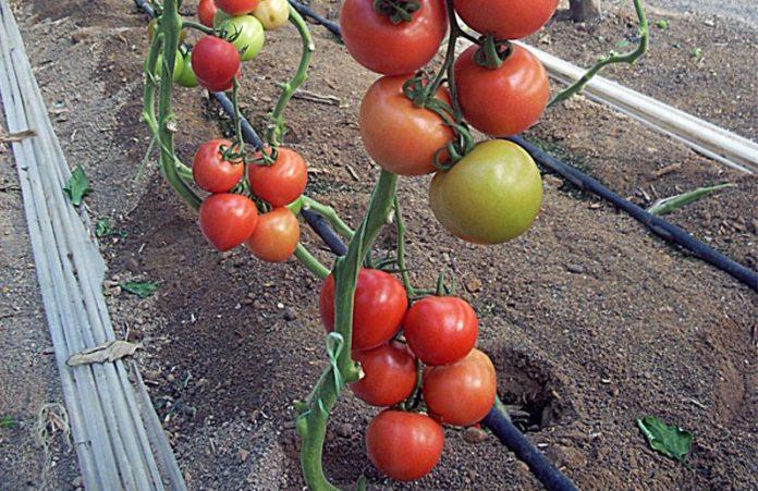 Εκπαιδευτικό προγραμμα από το ΑΠΘ για την υδροπονική καλλιέργεια στην τομάτα θερμοκηπίου