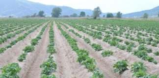 To χυτρίδιο της πατάτας έχει βυθίσει σε απόγνωση δεκάδες καλλιεργητές