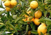 Στα 45 λεπτά το κιλό τα λεμόνια στην Αιγιαλεία
