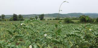 Αυξάνονται οι καλλιεργούμενες εκτάσεις με όσπρια στη Στερεά