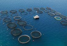 Φουρτούνες για τους ψαράδες από τις πιέσεις στις τιμές της τσιπούρας και του λαβρακιού