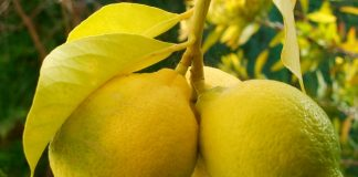 Σταθερά ψηλά ζήτηση και τιμές για το λεμόνι