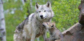 Στη Βοιωτία οι λύκοι αφανίζουν κοπάδια