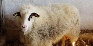Πληρωμές ύψους 3,2 εκατ. ευρώ για τις σπάνιες φυλές αγροτικών ζώων