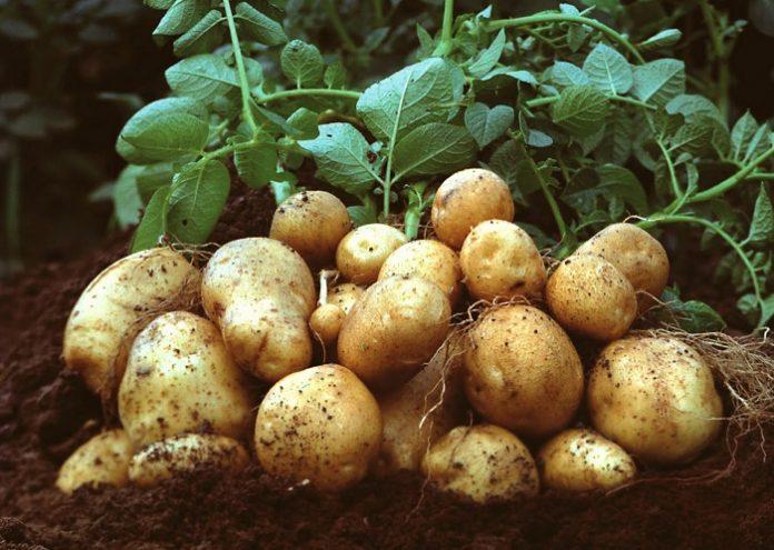 Αισθητή η αύξηση των καλλιεργούμενων εκτάσεων πατάτας στη Στερεά