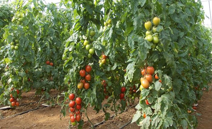 θερμοκηπιακές καλλιέργειες ντομάτας, Σύρος