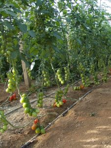 καλλιέργεια ντομάτας στη Σύρο