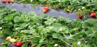 Η κακοκαιρία μείωσε την παραγωγή φράουλας